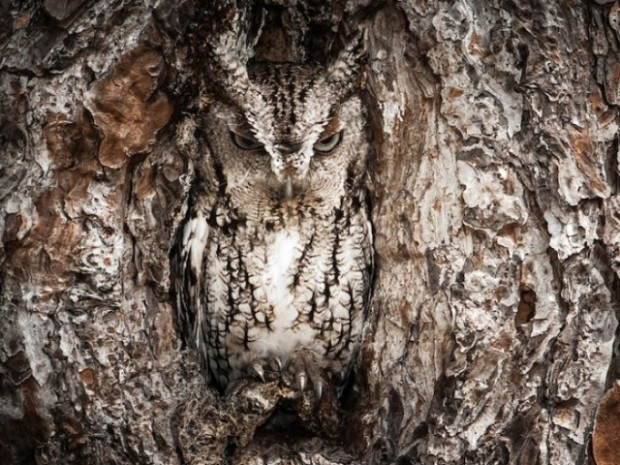 Merit Winner : Portrait of an Eastern Screech Owl – Graham McGeorge